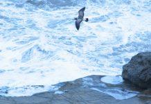 Albatros Olmak